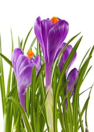 Spring flowers, crocuses isolated on white background photo