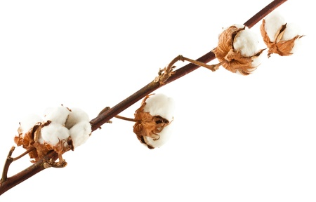 cotton ball: Cotton branch isolated on white background