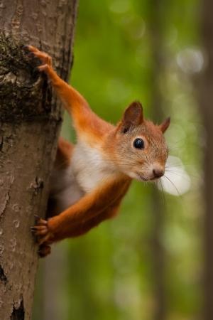 붉은 다람쥐 숲에서 나무에 앉아