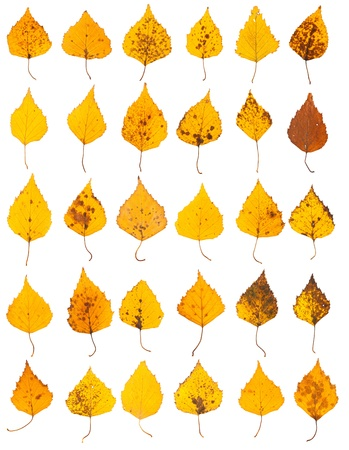 Yellow birch leaves collection isolated on white background photo