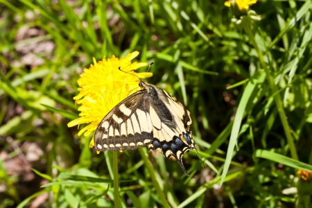 Swallowtail butterfly sitting on a yellow dandelion photo