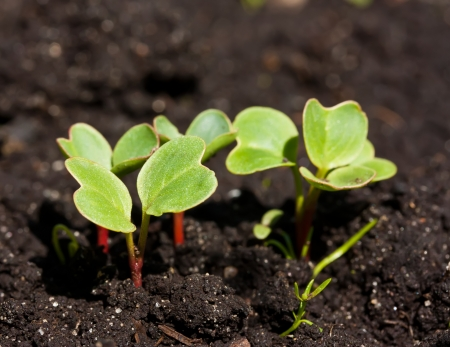 germinate: Group of radish sprouts growing from the ground Stock Photo