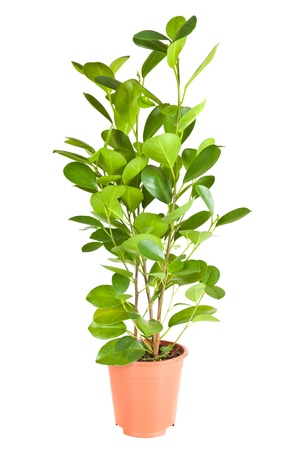 Potted plants: Ficus in the brown pot isolated on white background