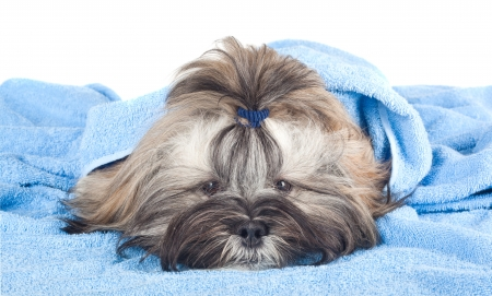 Funny puppy with a blue towel isolated on white background photo