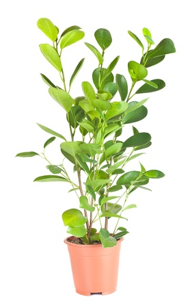 indoor plants: Ficus in the brown pot isolated on white background