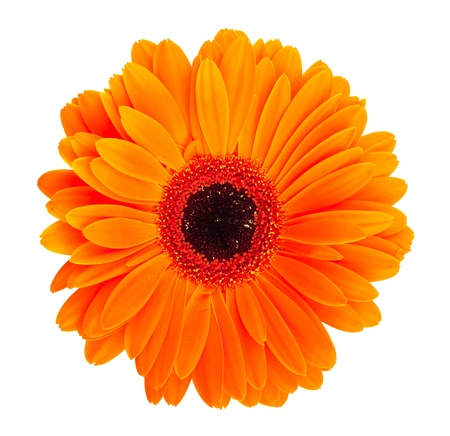 Single orange gerbera flower isolated on white background Stock Photo