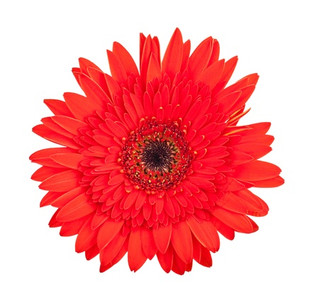 Single red gerbera flower isolated on white background