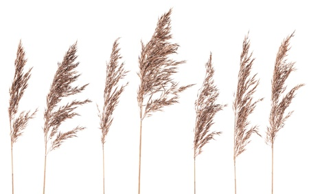 Seven dried bush grass panicles isolated on white background 写真素材