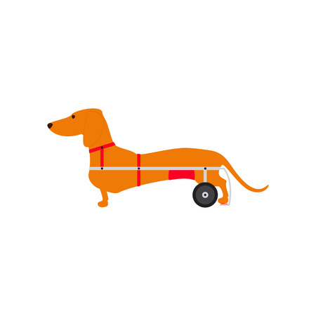 dog wheelchair: Foxy colored dachshund with hind legs on wheelchair isolated on white background