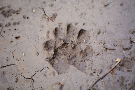 Dog print in the mud