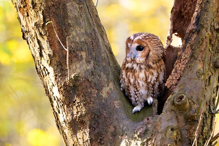 A Tawny owl in an old tree photo