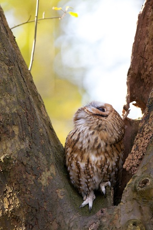 A Tawny owl in a tree looking up photo