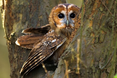 A Tawny owl in a tree