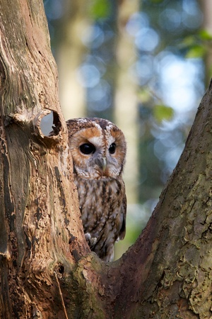 tawny: A tawny owl in an old tree Stock Photo