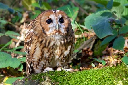 A tawny owl in woodland photo