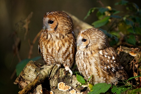 A pair of tawny owls in a forest photo