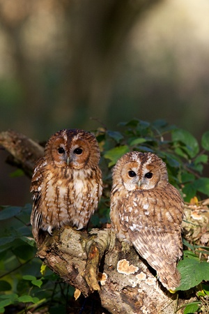 A pair of tawny owls in a wood photo