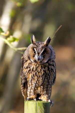 A long eared owl on a fence pole photo