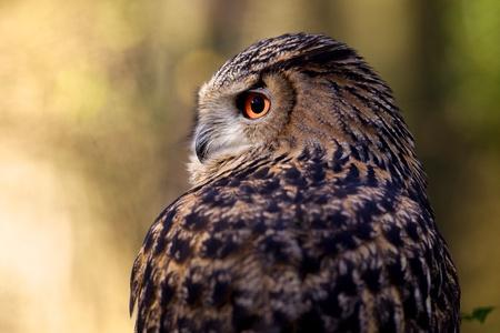 eagle falls: An eagle owl