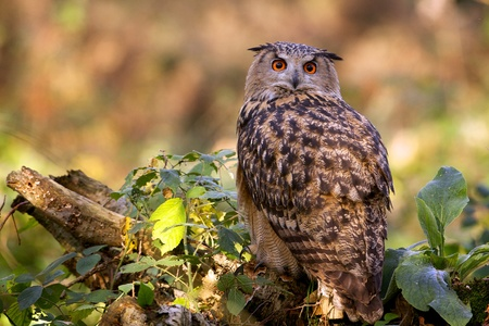 An eagle owl in the woods