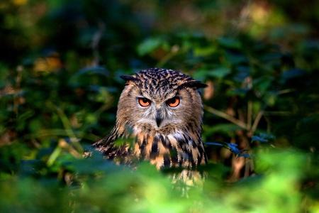eagle falls: An eagle owl in woodland