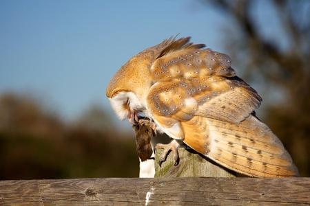 vole: A barn owl eating a vole on a fence