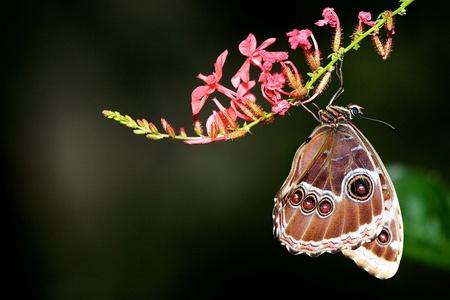 mariposa azul: Un morfo azul colgando fuera una flor rosa