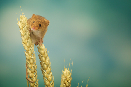 house mouse: A little cute harvest mouse on some wheat