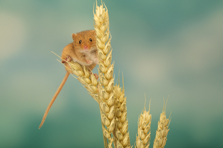 myszy: A little cute harvest mouse on some wheat