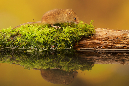 tails: A little cute harvest mouse on an old moss covered log in a reflection pool Stock Photo