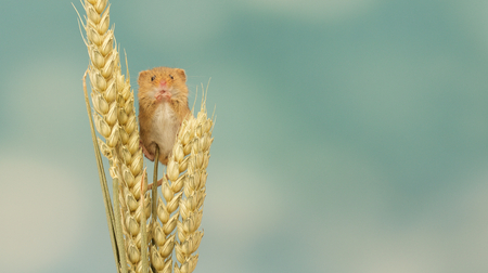 harvest: A little cute harvest mouse on some wheat
