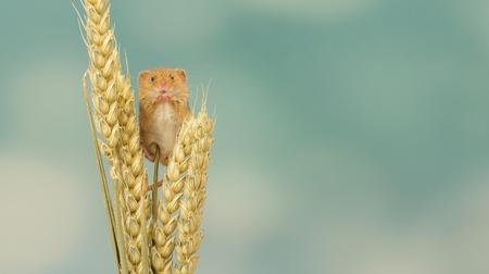 ratones: Un poco de cosecha de ratón lindo en algo de trigo Foto de archivo