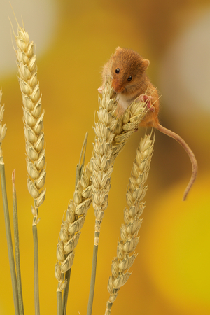 A little cute harvest mouse on some wheat