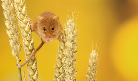 myszy: Two cute little harvest mice climbing on wheat