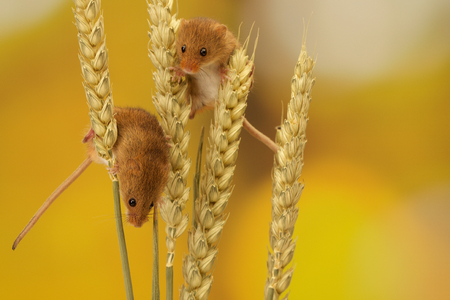 Two cute little harvest mice climbing on wheat
