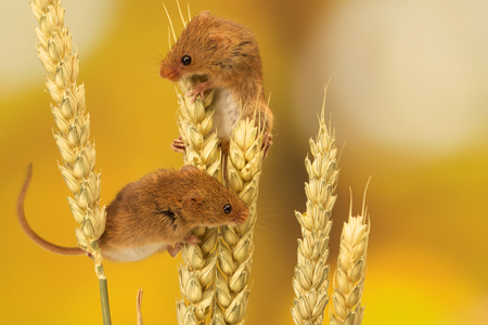 house mouse: Two cute little harvest mice climbing on wheat