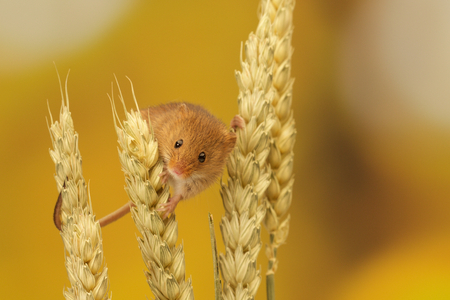 A cute little harvest mouse climbing on wheat