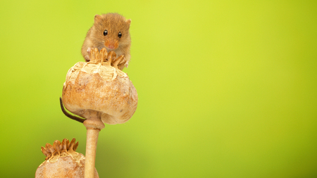 A cute little harvest mouse on a poppy seed head