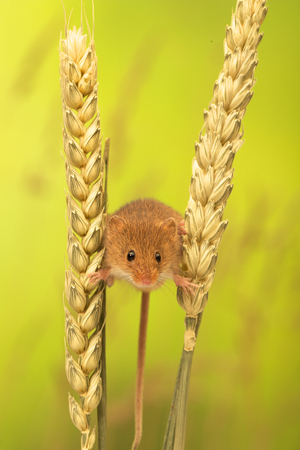 harvest field: A cute little harvest mouse Stock Photo