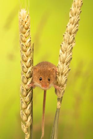 raton: Un peque�o rat�n lindo de la cosecha Foto de archivo