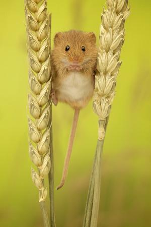 A cute little harvest mouse Фото со стока