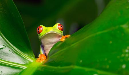 grenouille: Rouge grenouille d'arbre aux yeux en regardant la caméra