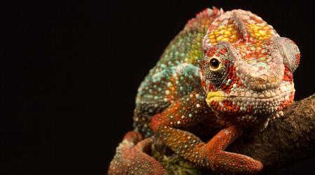 chameleon isolated on black background