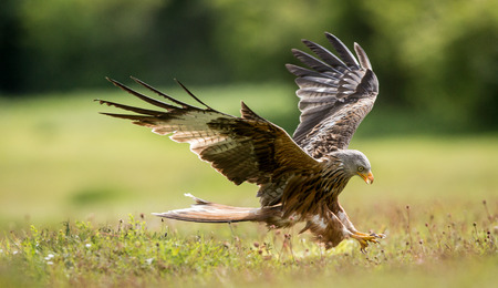Red kite coming into land