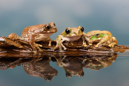bright eyed: Three frogs on a log in a reflection pool Stock Photo