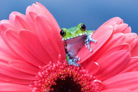 frog: Peacock tree frog on a pink gerbera flower Stock Photo