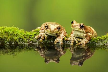 animales de la selva: Dos ranas de leche en un tronco cubierto de musgo