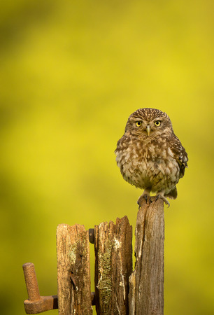 fence post: Little owl on an old fence post