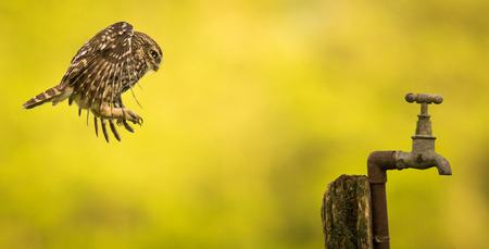 athene: Little owl flying onto an old water tap