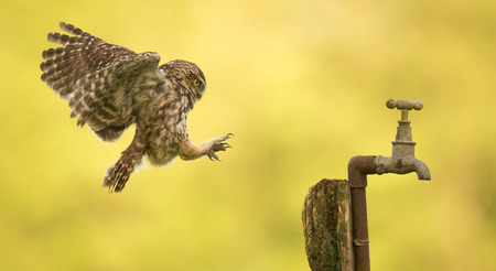 Little owl flying onto an old water tap